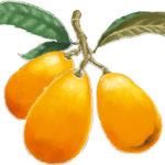 枇杷(ビワ)の木伝説「庭にビワの木を植えると不幸が訪れる」は本当なの?