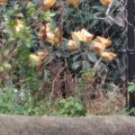 鬼平犯科帳の長谷川平蔵が、ビワの木で杖を作りましたが、本当に出来るの?