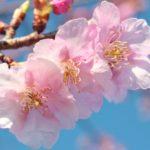 七十二候 第十候 雀始巣  長崎桜開花宣言1番 気象台の桜の木に5輪