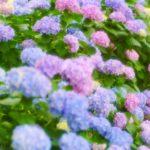 2019年 紫陽花の花満載見頃。佐賀県唐津市の見帰りの滝アジサイまつり開催