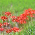 お彼岸は春と秋にあるけど何故?ヒガンバナの花言葉とお彼岸にはどんな関係が?